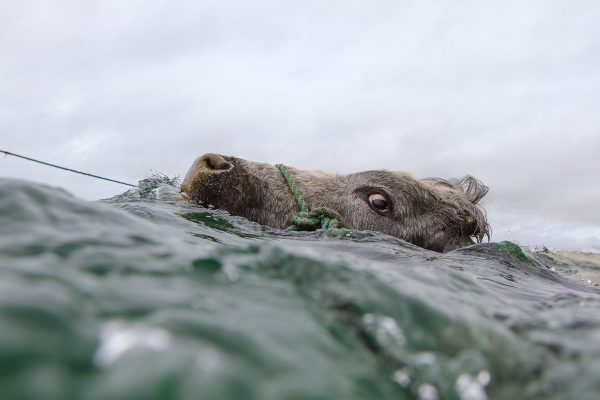 © Kevin Griffin, Cow Swimming, Connemara, 2014. kevingriffinphoto.com